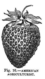 Strawberry-culturist